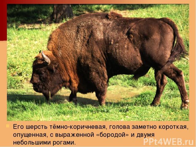 Его шерсть тёмно-коричневая, голова заметно короткая, опущенная, с выраженной «бородой» и двумя небольшими рогами.