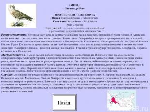 ПОЗВОНОЧНЫЕ - VERTEBRATA Отряд: Соколообразные - Falconiformes Семейство: Ястреб
