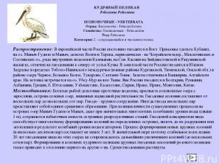 ПОЗВОНОЧНЫЕ - VERTEBRATA Отряд: Веслоногие - Pelecaniformes Семейство: Пеликанов