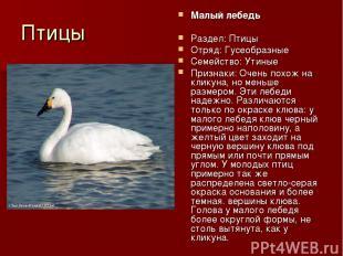 Птицы Малый лебедь Раздел: Птицы Отряд: Гусеобразные Семейство: Утиные Признаки: