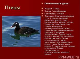 Птицы Обыкновенный турпан Раздел: Птицы Отряд: Гусеобразные Семейство: Утиные Пр