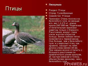 Птицы Пискулька Раздел: Птицы Отряд: Гусеобразные Семейство: Утиные Признаки: Оч