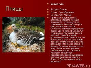 Птицы Серый гусь Раздел: Птицы Отряд: Гусеобразные Семейство: Утиные Признаки: К
