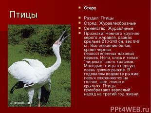 Птицы Стерх Раздел: Птицы Отряд: Журавлеобразные Семейство: Журавлиные Признаки: