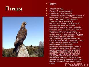 Птицы Беркут Раздел: Птицы Отряд: Соколообразные Семейство: Ястребиные Признаки: