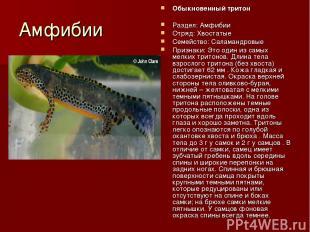 Амфибии Обыкновенный тритон Раздел: Амфибии Отряд: Хвостатые Семейство: Саламанд