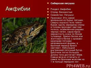 Амфибии Сибирская лягушка Раздел: Амфибии Отряд: Бесхвостые Семейство: Лягушки П