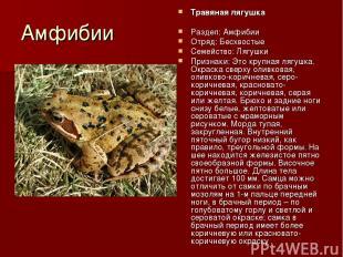 Амфибии Травяная лягушка Раздел: Амфибии Отряд: Бесхвостые Семейство: Лягушки Пр