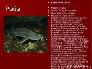 Рыбы Сибирский осетр Раздел: Рыбы Отряд: Осетрообразные Семейство: Осетровые При