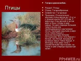 Птицы Гагара краснозобая. Раздел: Птицы Отряд: Гагарообразные Семейство: Гагаров