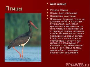 Птицы Аист черный Раздел: Птицы Отряд: Аистообразные Семейство: Аистовые Признак