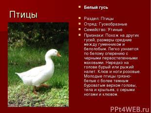 Птицы Белый гусь Раздел: Птицы Отряд: Гусеобразные Семейство: Утиные Признаки: П