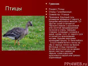 Птицы Гуменник Раздел: Птицы Отряд: Гусеобразные Семейство: Утиные Признаки: Кру