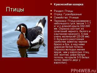 Птицы Краснозобая казарка Раздел: Птицы Отряд: Гусеобразные Семейство: Утиные Пр