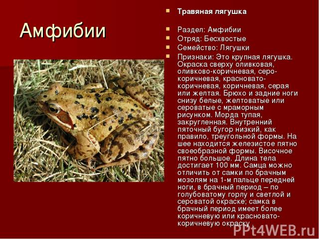 Амфибии Травяная лягушка Раздел: Амфибии Отряд: Бесхвостые Семейство: Лягушки Признаки: Это крупная лягушка. Окраска сверху оливковая, оливково-коричневая, серо-коричневая, красновато-коричневая, коричневая, серая или желтая. Брюхо и задние ноги сни…