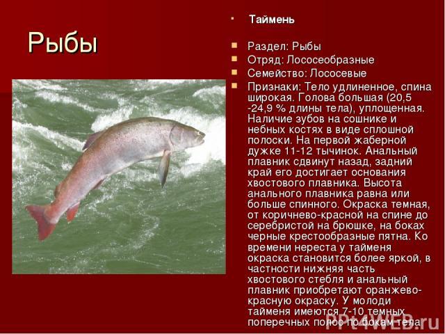 Рыбы Таймень Раздел: Рыбы Отряд: Лососеобразные Семейство: Лососевые Признаки: Тело удлиненное, спина широкая. Голова большая (20,5 -24,9 % длины тела), уплощенная. Наличие зубов на сошнике и небных костях в виде сплошной полоски. На первой жаберной…