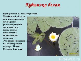 Кувшинка белая Произрастает по всей территории Челябинской области, но в последн