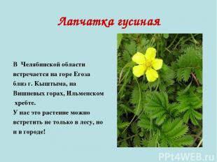 Лапчатка гусиная В Челябинской области встречается на горе Егоза близ г. Кыштыма