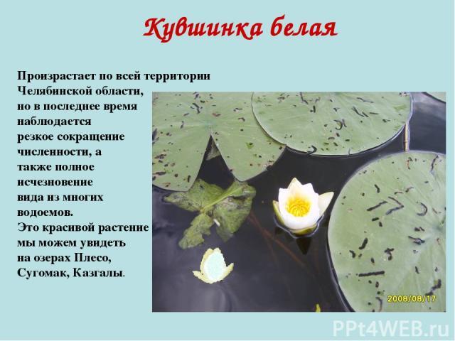 Кувшинка белая Произрастает по всей территории Челябинской области, но в последнее время наблюдается резкое сокращение численности, а также полное исчезновение вида из многих водоемов. Это красивой растение мы можем увидеть на озерах Плесо, Сугомак,…