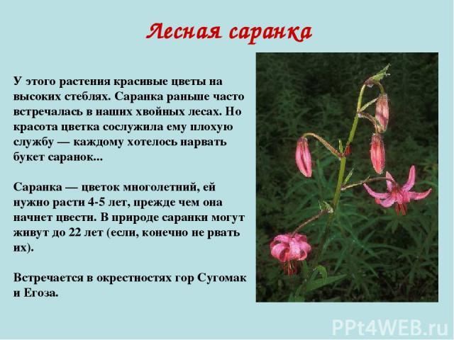 Лесная саранка У этого растения красивые цветы на высоких стеблях. Саранка раньше часто встречалась в наших хвойных лесах. Но красота цветка сослужила ему плохую службу — каждому хотелось нарвать букет саранок... Саранка — цветок многолетний, ей нуж…