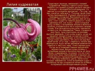 Лилия кудреватая Существует легенда, связанная с лилией кудреватой. Умерла у одн