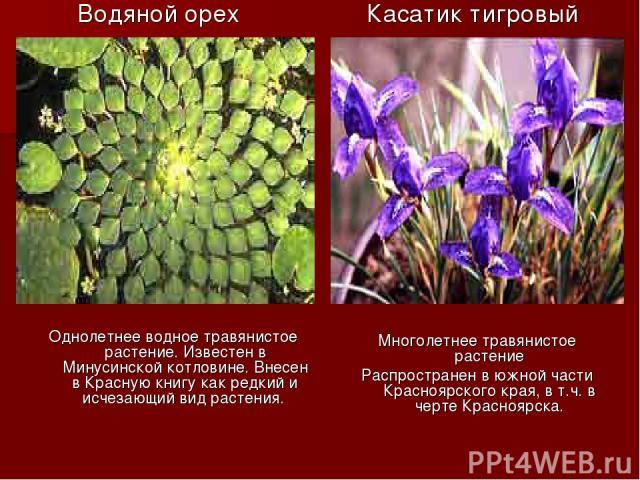 Водяной орех Однолетнее водное травянистое растение. Известен в Минусинской котловине. Внесен в Красную книгу как редкий и исчезающий вид растения. Касатик тигровый Многолетнее травянистое растение Распространен в южной части Красноярского края, в т…