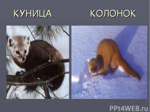 КУНИЦА КОЛОНОК