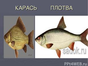 КАРАСЬ ПЛОТВА