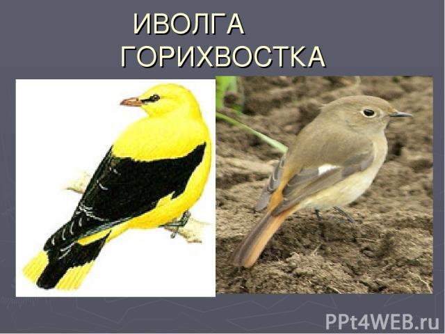 ИВОЛГА ГОРИХВОСТКА