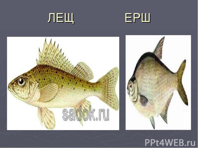 ЛЕЩ ЕРШ