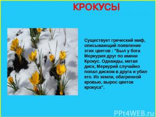 """КРОКУСЫ Существует греческий миф, описывающий появление этих цветов : """"Был у бог"""