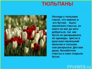 ТЮЛЬПАНЫ Легенда о тюльпане гласит, что именно в его бутоне было заключено счаст