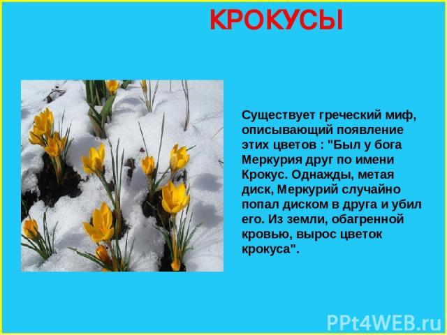 КРОКУСЫ Существует греческий миф, описывающий появление этих цветов :