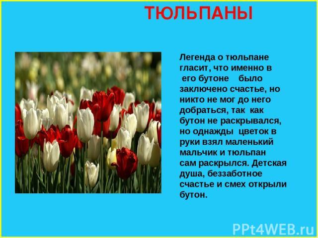 ТЮЛЬПАНЫ Легенда о тюльпане гласит, что именно в его бутоне было заключено счастье, но никто не мог до него добраться, так как бутон не раскрывался, но однажды цветок в руки взял маленький мальчик и тюльпан сам раскрылся. Детская душа, беззаботное с…