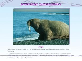 ЖИВОТНЫЕ ЗАПОВЕДНИКА Морж Бивни моржа достигают в длину 70-80см. Ими морж распах