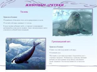 ЖИВОТНЫЕ АРКТИКИ Тюлень Приспособления: Удлинённое обтекаемое тело, ноги преврат