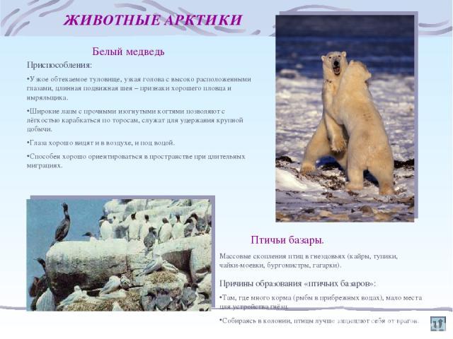 ЖИВОТНЫЕ АРКТИКИ Белый медведь Приспособления: Узкое обтекаемое туловище, узкая голова с высоко расположенными глазами, длинная подвижная шея – признаки хорошего пловца и ныряльщика. Широкие лапы с прочными изогнутыми когтями позволяют с лёгкостью к…