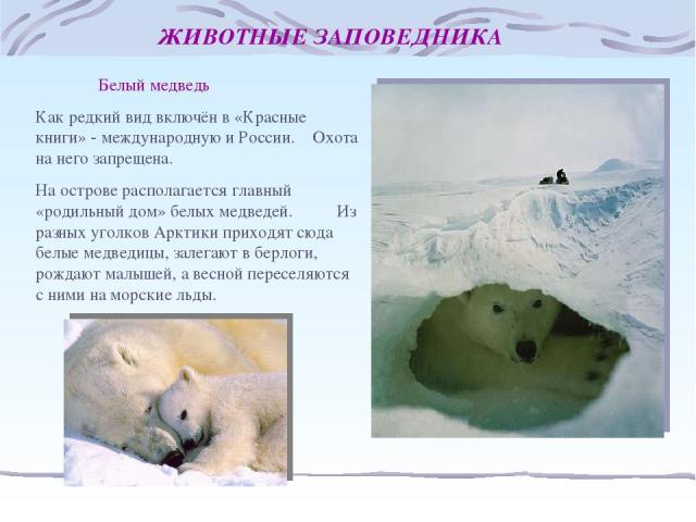 ЖИВОТНЫЕ ЗАПОВЕДНИКА Белый медведь Как редкий вид включён в «Красные книги» - международную и России. Охота на него запрещена. На острове располагается главный «родильный дом» белых медведей. Из разных уголков Арктики приходят сюда белые медведицы, …
