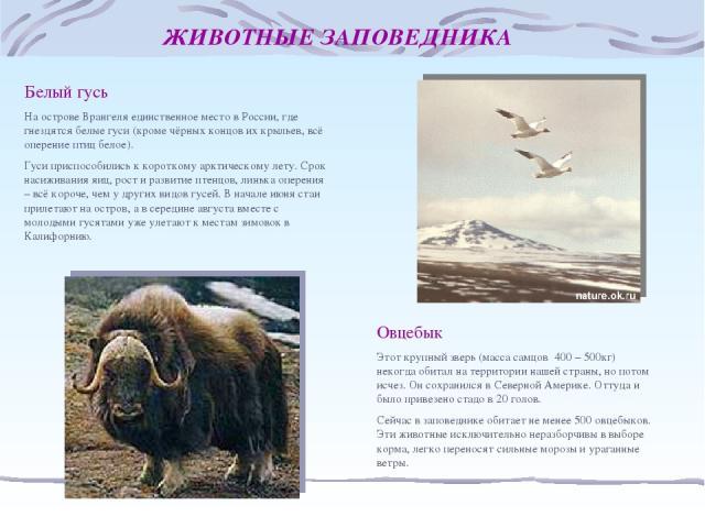 ЖИВОТНЫЕ ЗАПОВЕДНИКА Белый гусь На острове Врангеля единственное место в России, где гнездятся белые гуси (кроме чёрных концов их крыльев, всё оперение птиц белое). Гуси приспособились к короткому арктическому лету. Срок насиживания яиц, рост и разв…