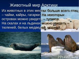 Животный мир Арктики Из животных в этих местах больше всего птиц – чайки, кайры,