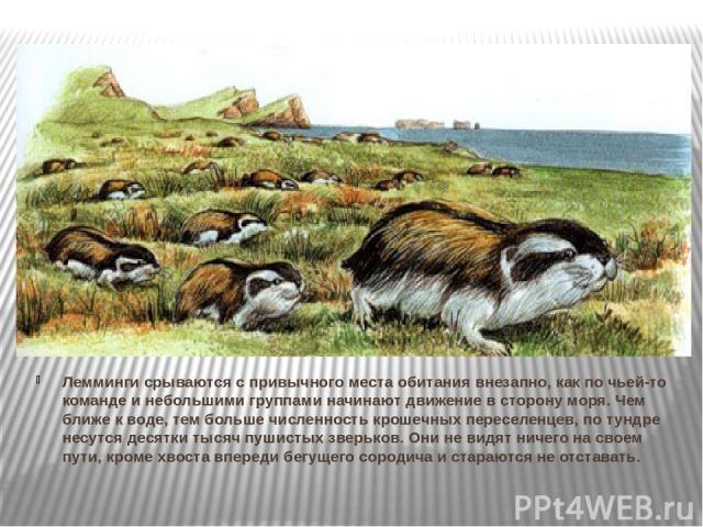 Лемминги срываются с привычного места обитания внезапно, как по чьей-то команде и небольшими группами начинают движение в сторону моря. Чем ближе к воде, тем больше численность крошечных переселенцев, по тундре несутся десятки тысяч пушистых зверько…