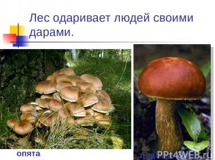Лес одаривает людей своими дарами. опята подберезовик