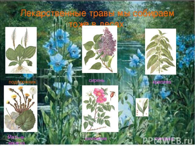 Лекарственные травы мы собираем тоже в лесах. подорожник сирень крапива Мать-и-мачеха шиповник ландыш