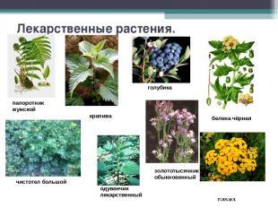 Лекарственные растения. папоротник мужской крапива голубика белена чёрная чистот