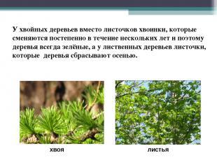 хвоя листья У хвойных деревьев вместо листочков хвоинки, которые сменяются посте