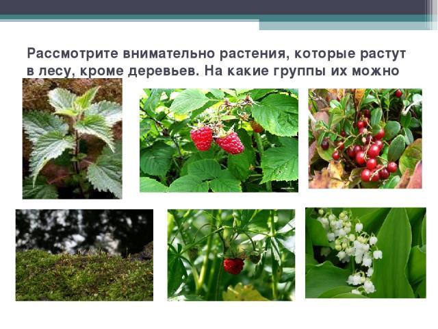 Рассмотрите внимательно растения, которые растут в лесу, кроме деревьев. На какие группы их можно разделить?