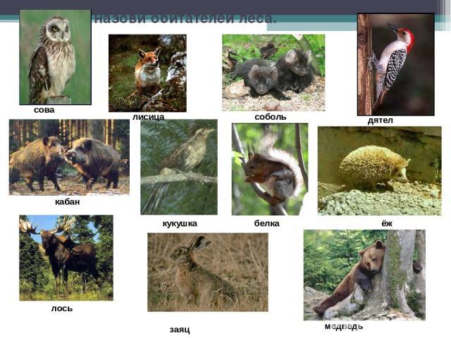 Узнай и назови обитателей леса. сова кабан лисица соболь кукушка лось заяц дятел ёж медведь белка