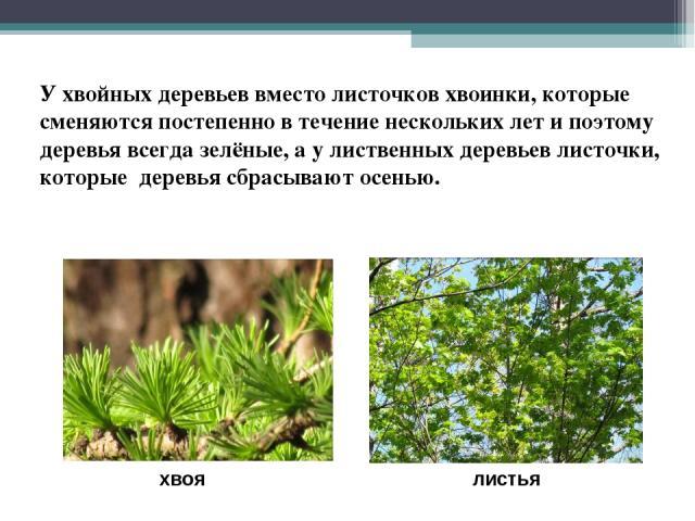 хвоя листья У хвойных деревьев вместо листочков хвоинки, которые сменяются постепенно в течение нескольких лет и поэтому деревья всегда зелёные, а у лиственных деревьев листочки, которые деревья сбрасывают осенью.