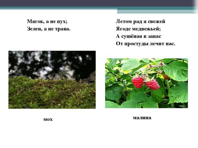 Мягок, а не пух; Зелен, а не трава. Летом рад я свежей Ягоде медвежьей; А сушёная в запас От простуды лечит нас. мох малина