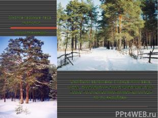 Многие хвойные леса являются искусственными. Они были заложены с конца XVIII век